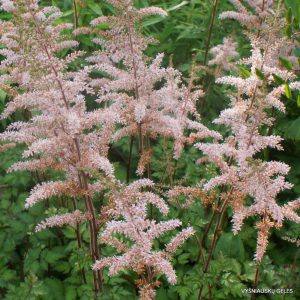 Astilbe 'Color Flash' (2)