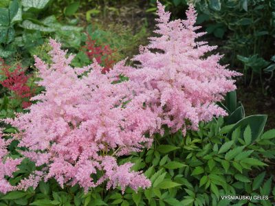 Astilbe 'Younique Silvery Pink' (3)