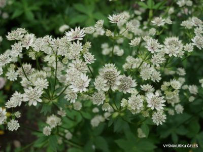 Astrantia major 'Million Stars'