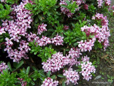 Daphne cneorum 'Eximia' (2)