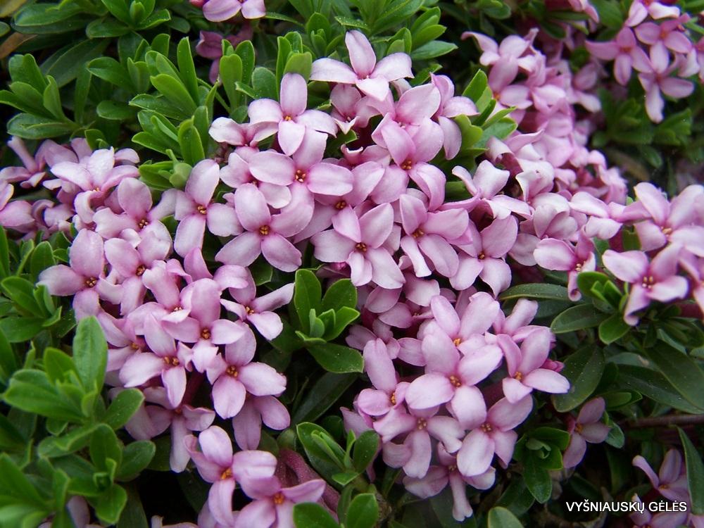 Daphne cneorum 'Eximia' (3)