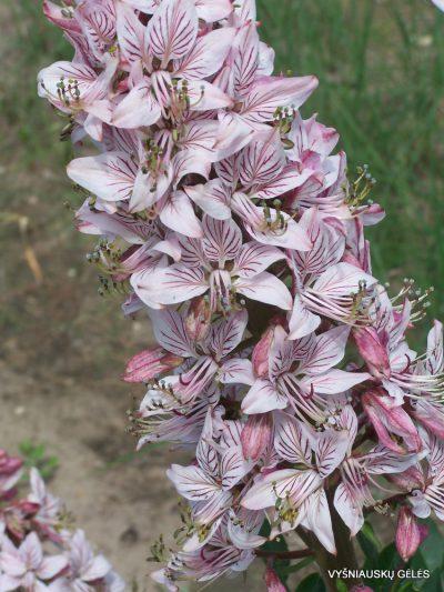 Dictamnus fraxinella (2)