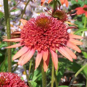 Echinacea 'Coral Reef'