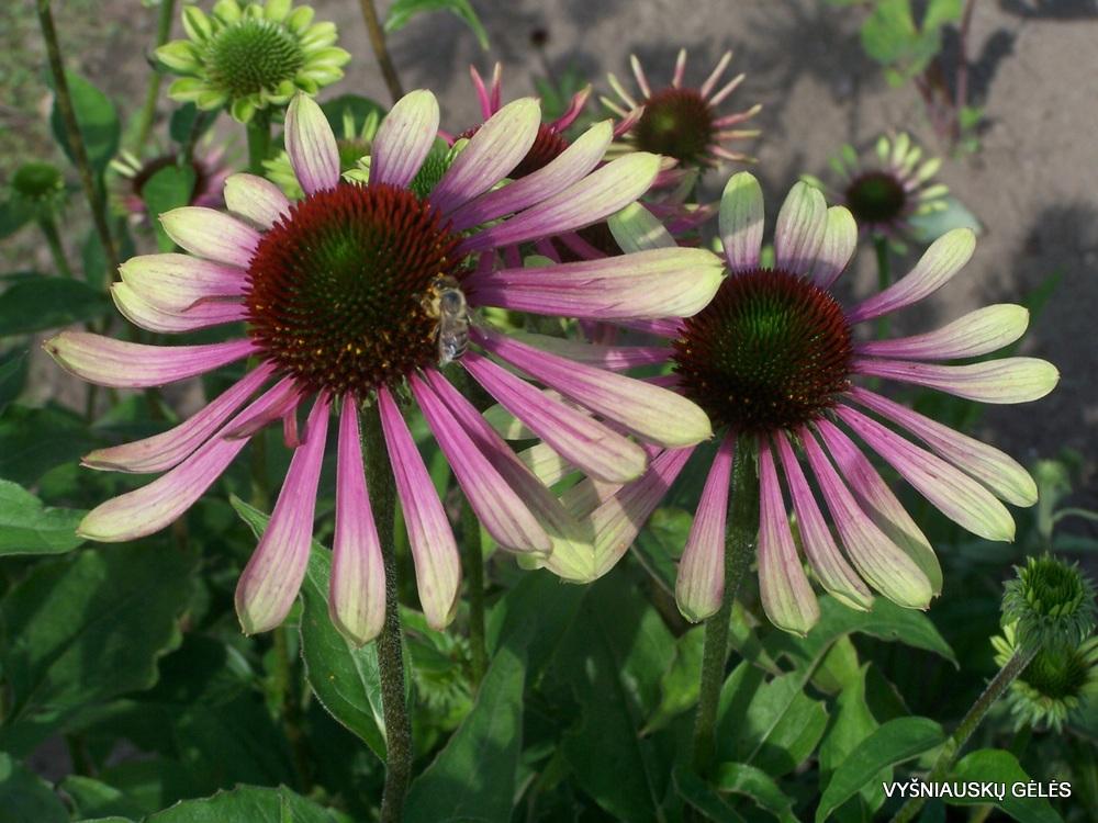 Echinacea 'Green Envy' (2)