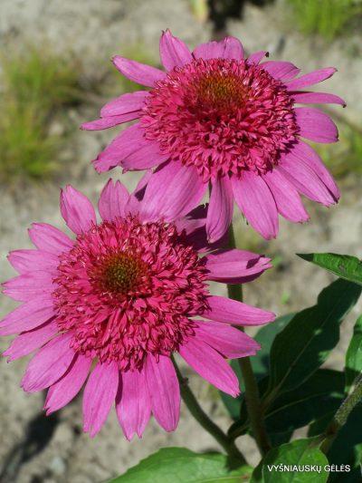 Echinacea 'Gum Drop' (2)