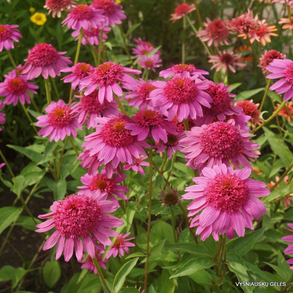 Echinacea 'Gum Drop' (3)