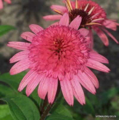 Echinacea 'Raspberry Truffle' (2)