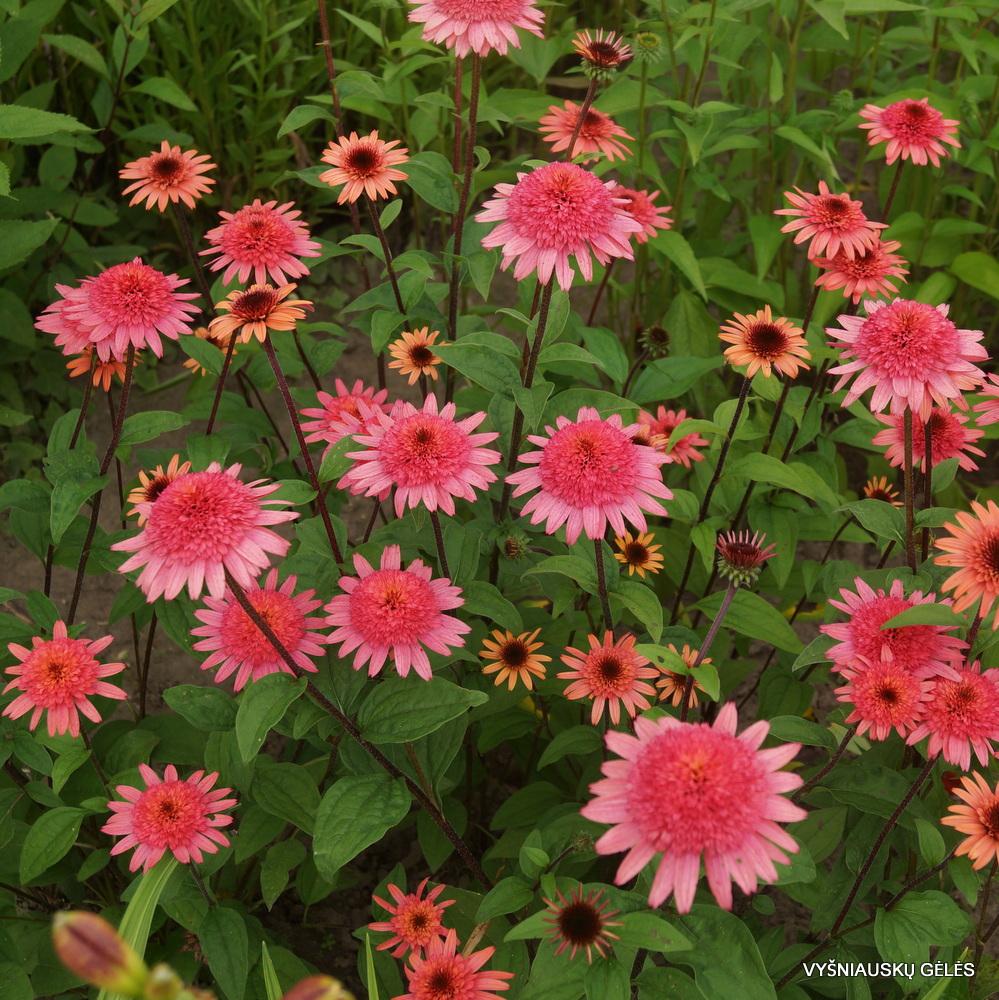 Echinacea 'Raspberry Truffle' (3)