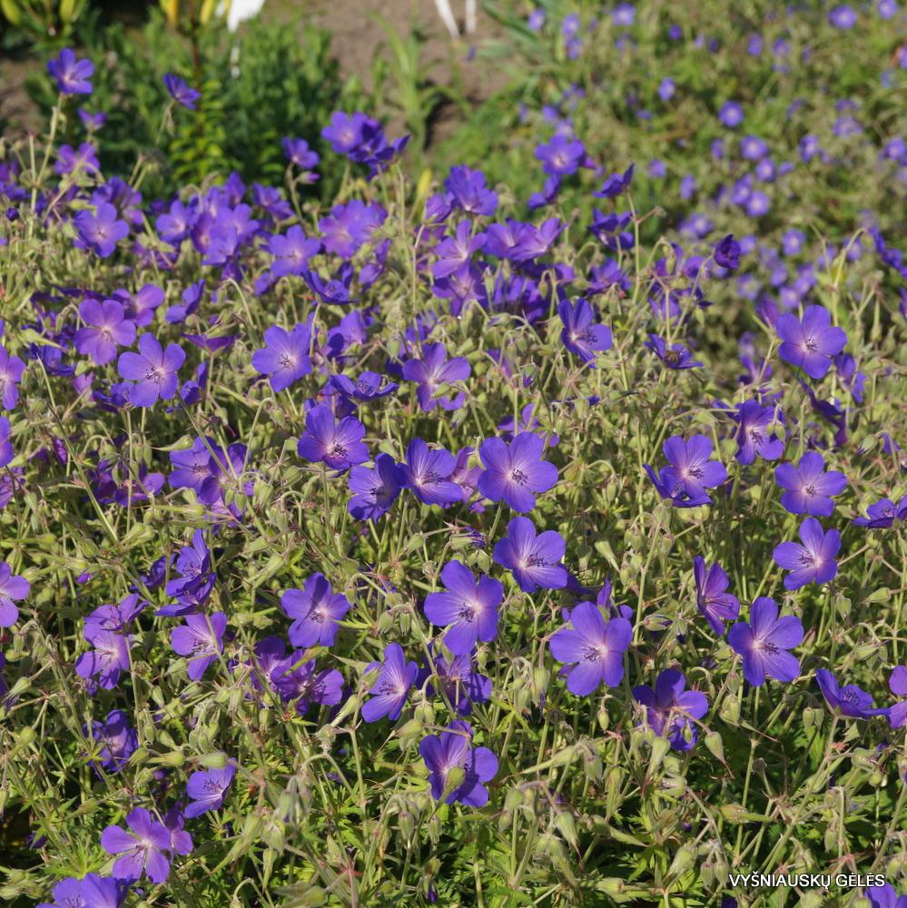 Geranium pratense 'Cluden Saphire' (2)