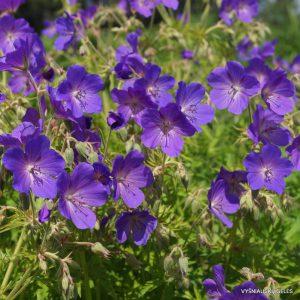Geranium pratense 'Cluden Saphire'