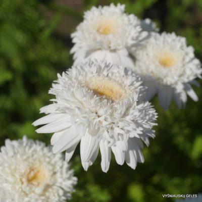 Pyrethrum coccineum 'Mont Blanc' (2)