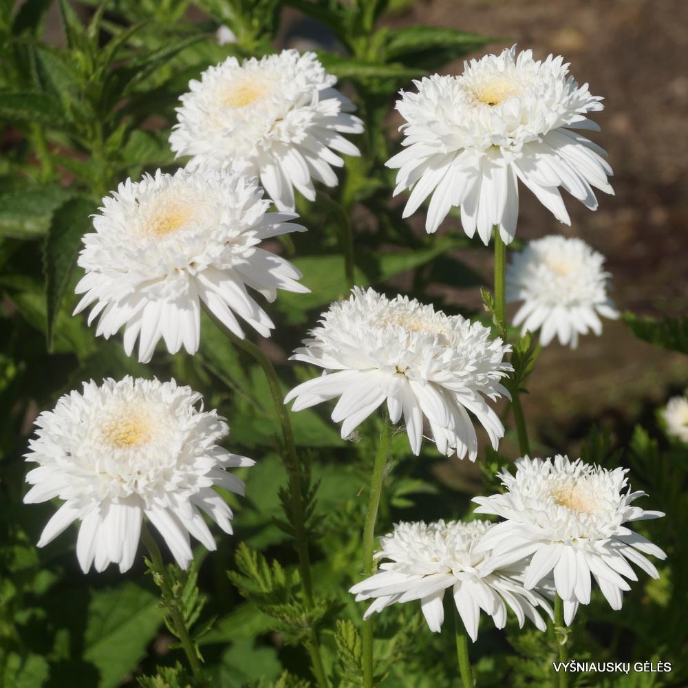 Pyrethrum coccineum 'Mont Blanc' (3)