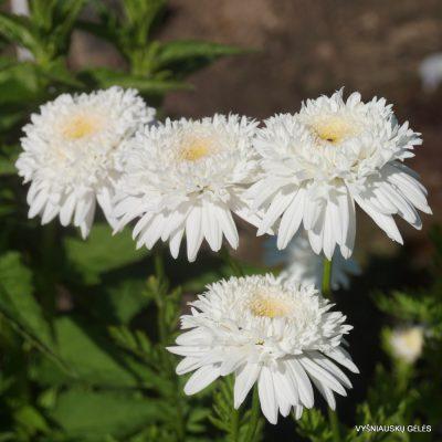 Pyrethrum coccineum 'Mont Blanc'