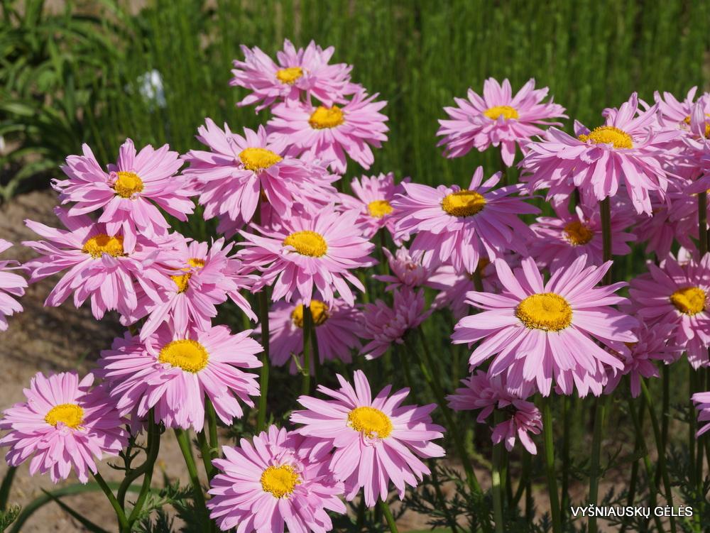 Pyrethrum coccineum 'Robinson's Pink' (2)
