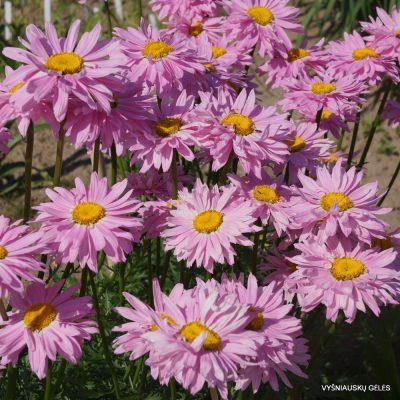 Pyrethrum coccineum 'Robinson's Pink'