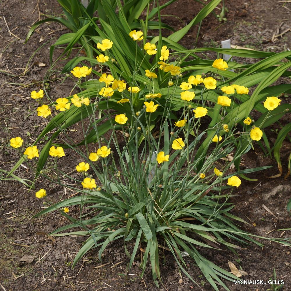Ranunculus gramineus (3)
