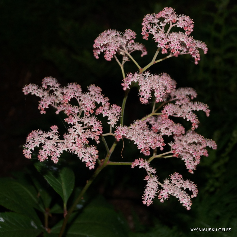 Rodgersia 'Dark Pokers' (2)