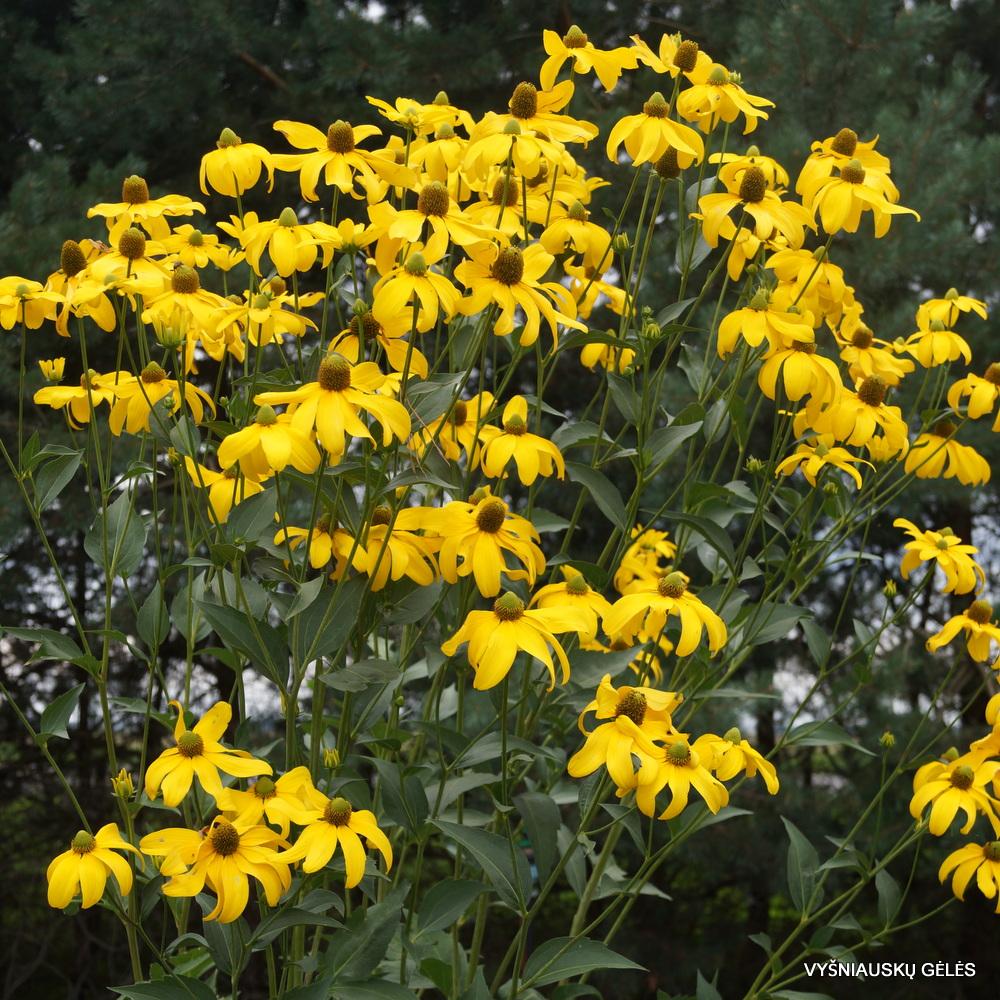 Rudbeckia laciniata 'Herbstsonne' (2)