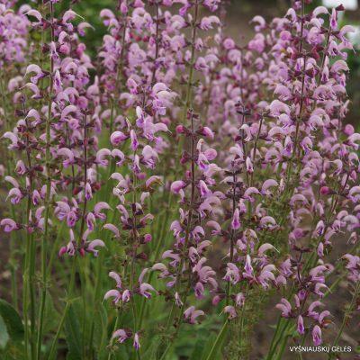 Salvia pratensis 'Eveline'