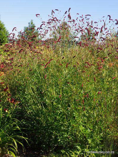 Sanguisorba tenuifolia 'Scapino' (2)