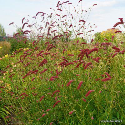 Sanguisorba tenuifolia 'Scapino'