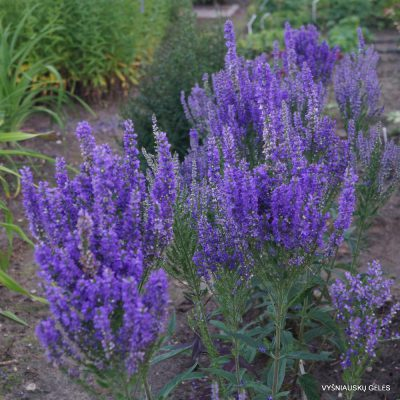 Veronica 'Plumosa Blue Plume' (2)