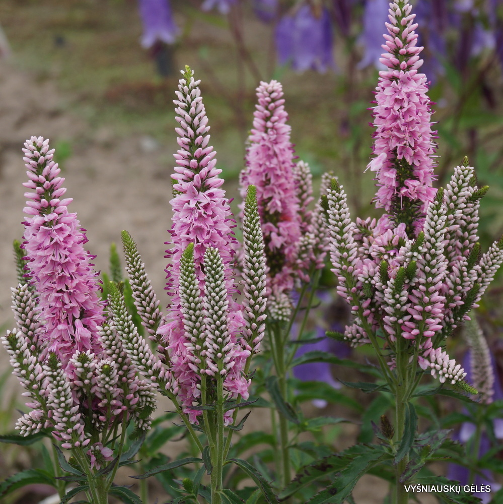 Veronica 'Atomic Silvery Pink Ray' (2)