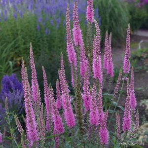 Veronica 'Charming Pink'