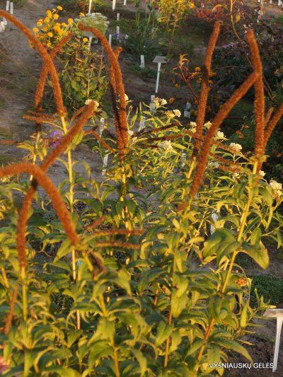 Veronicastrum sachalinense (2)
