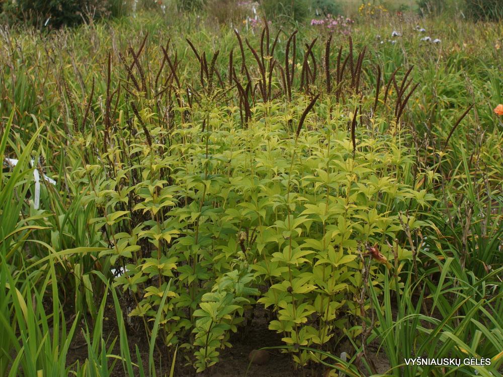 Veronicastrum sachalinense (3)