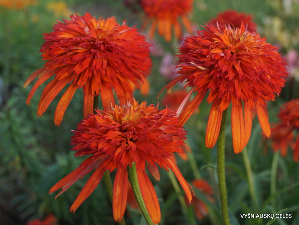 Echinacea 'Summer Salsa' (2)