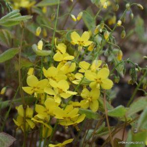 Epimedium × perralchicum 'Frohnleiten'