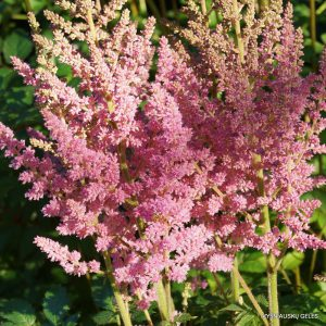 Astilbe 'Vision in Pink'