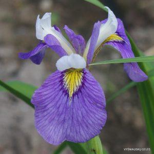 Iris-Enfant-Prodige