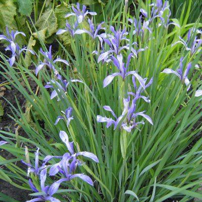 Iris lactea (2)