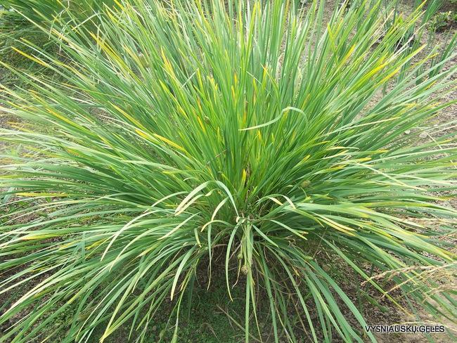 Iris lactea (3)