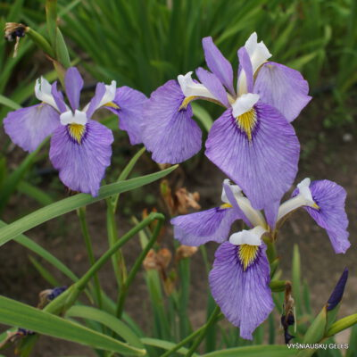 Iris x biversata 'Enfant Prodige' (2)