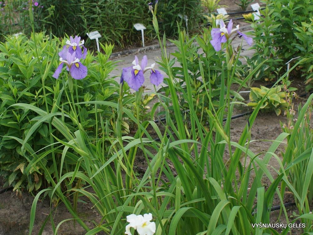 Iris x biversata 'Enfant Prodige' (3)