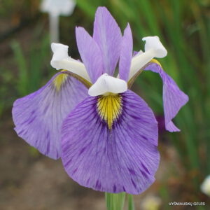 Iris x biversata 'Enfant Prodige'