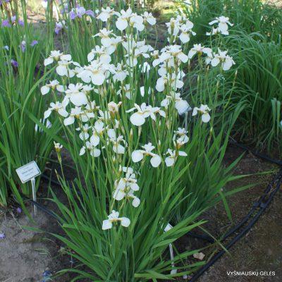 Iris x sibtosa 'Butterfly Fountain' (2)