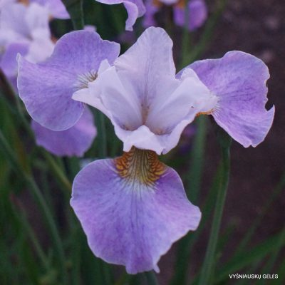 Iris x sibtosa 'Lavender Landscape' (2)