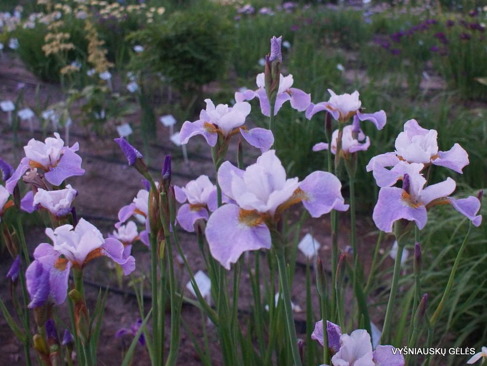 Iris x sibtosa 'Lavender Landscape' (3)