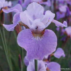 Iris x sibtosa 'Lavender Landscape'