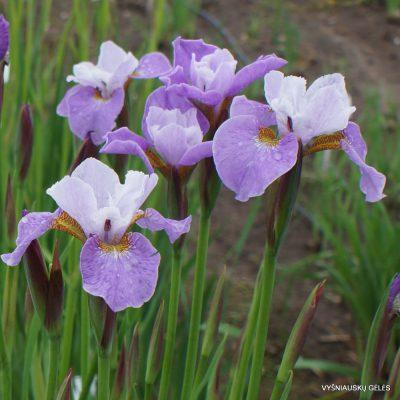 Iris x sibtosa 'Sibtosa Queen' (2)