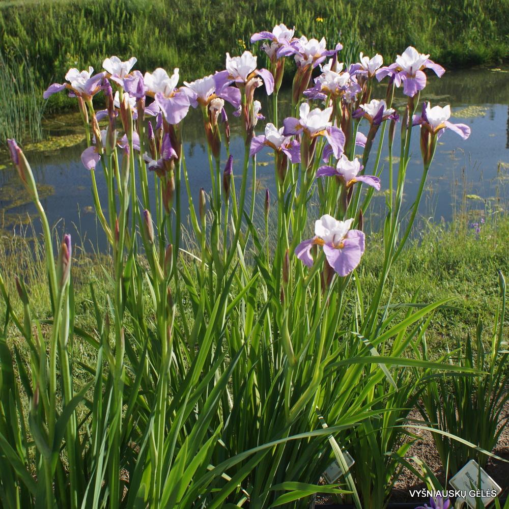 Iris x sibtosa 'Sibtosa Queen' (3)