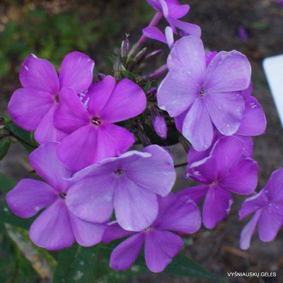 Phlox-'Vechernyaya-Pesnya'