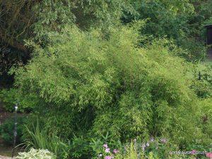bambukai (2)