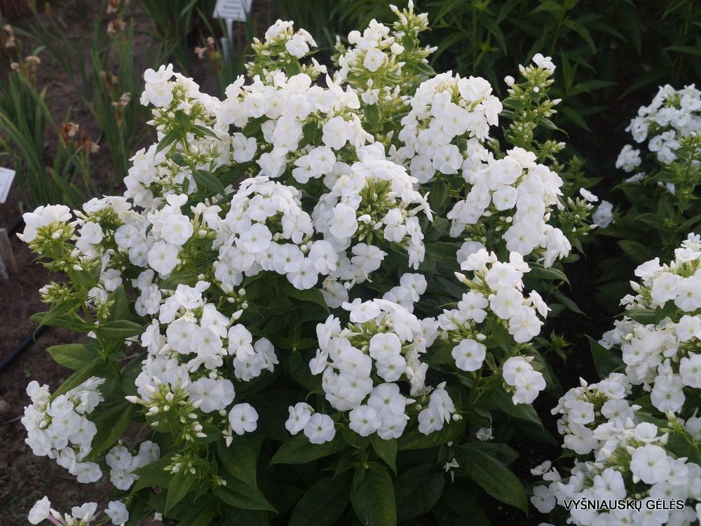 flioksai 'Adessa White' (3)