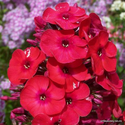 flioksai 'Red Flame' (2)