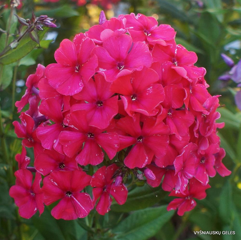 flioksai 'Red Flame' (3)
